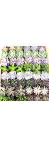 """3"""" Succulents • each"""